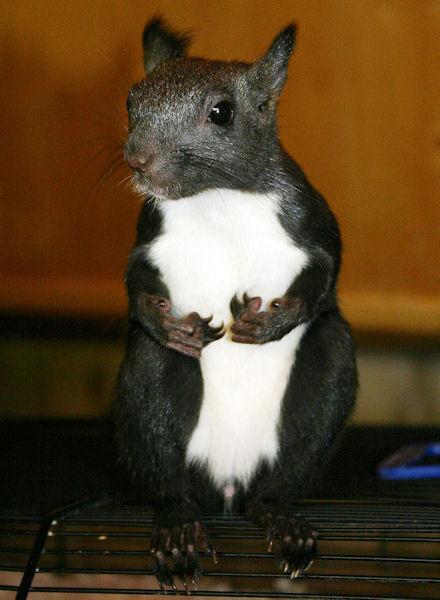 ♥♥♥ Photos et vidéos de Vanille et Chocolat,écureuils Japonais à ventre blanc... et de leurs frères et soeurs poilus ! ♥♥♥ - Page 5 2011_048
