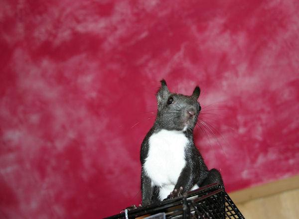 ♥♥♥ Photos et vidéos de Vanille et Chocolat,écureuils Japonais à ventre blanc... et de leurs frères et soeurs poilus ! ♥♥♥ - Page 5 2011_050