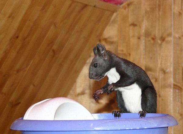 ♥♥♥ Photos et vidéos de Vanille et Chocolat,écureuils Japonais à ventre blanc... et de leurs frères et soeurs poilus ! ♥♥♥ - Page 5 2011_053