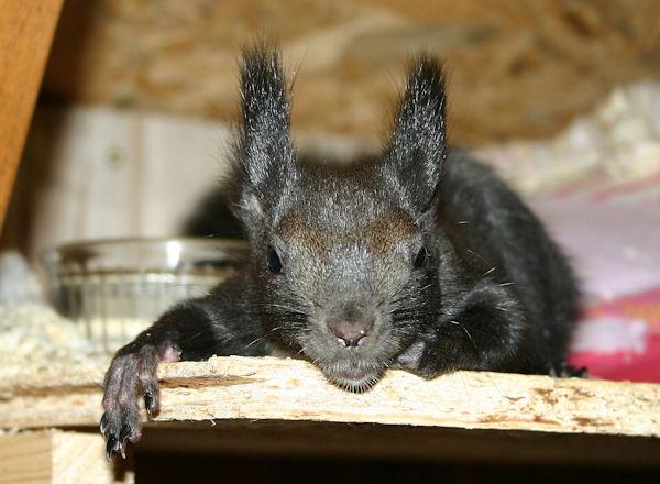 ♥♥♥ Photos et vidéos de Vanille et Chocolat,écureuils Japonais à ventre blanc... et de leurs frères et soeurs poilus ! ♥♥♥ - Page 5 2011_055