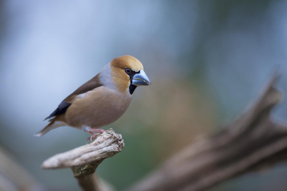Oiseaux de nos forêts : 2019-017