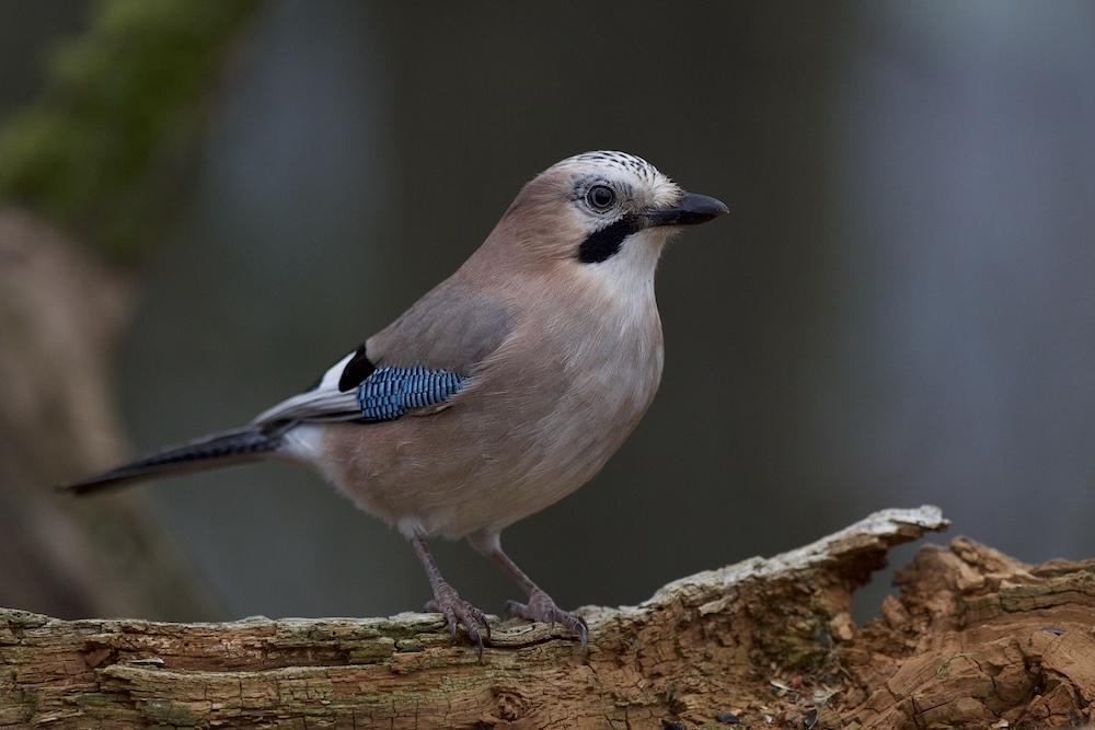Série d'oiseaux _csi5511