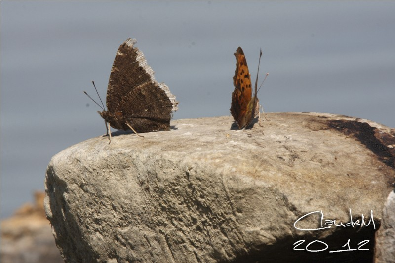 papillons Img_2510
