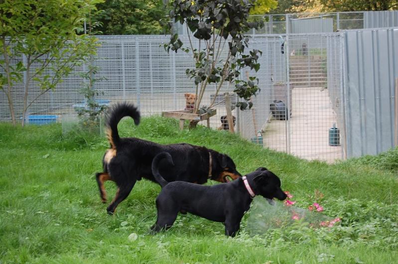GABIN, 5 mois, croisé taille moyenne, tout noir (Hautes-Alpes, Briançon) Dsc_0039
