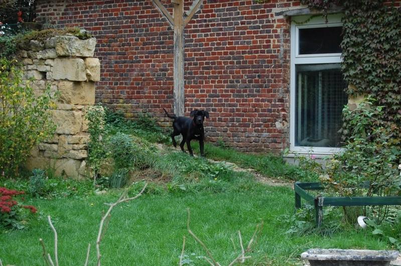 BYRON (ex-Taïson) X labrador noir, 2 ans, ayant été maltraité mais très gentil (27) Dsc_0092