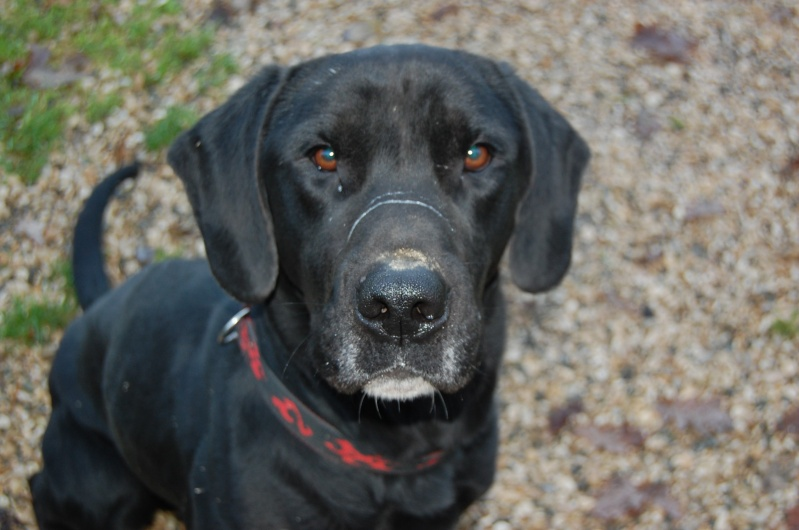 BYRON (ex-Taïson) X labrador noir, 2 ans, ayant été maltraité mais très gentil (27) Dsc_0219