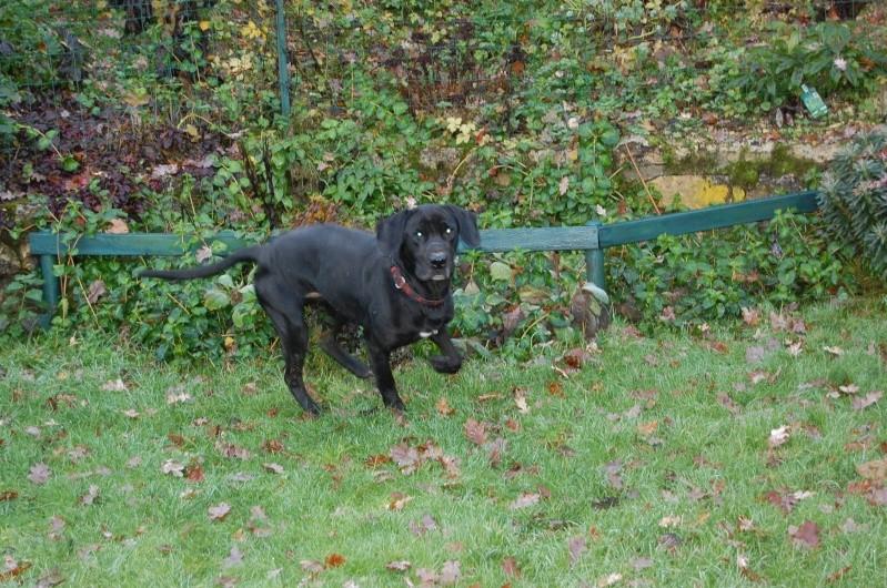 BYRON (ex-Taïson) X labrador noir, 2 ans, ayant été maltraité mais très gentil (27) Dsc_0220