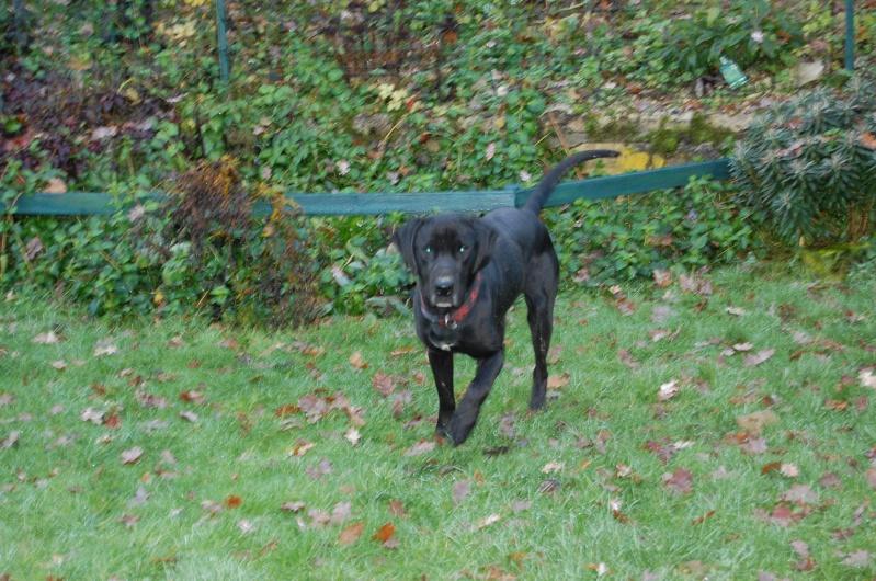 BYRON (ex-Taïson) X labrador noir, 2 ans, ayant été maltraité mais très gentil (27) Dsc_0221