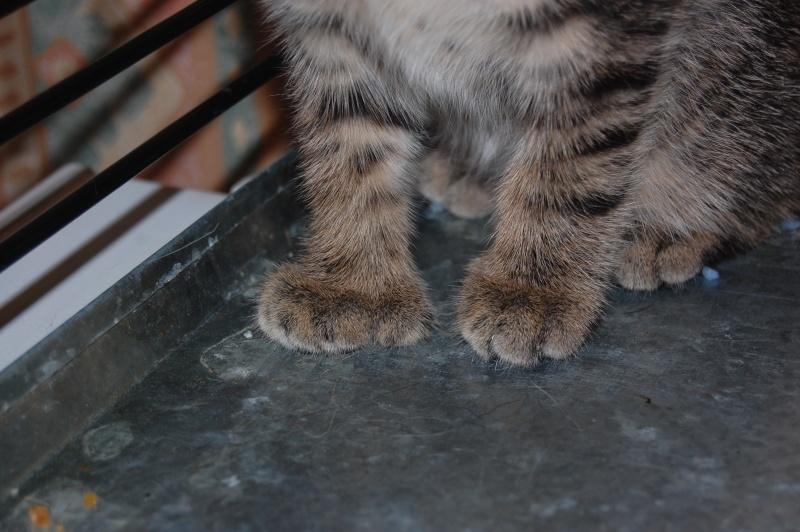 HERMIONE et CASSIOPEE, chatonnes tigrées, nées mi-mai (60) Dsc_0355