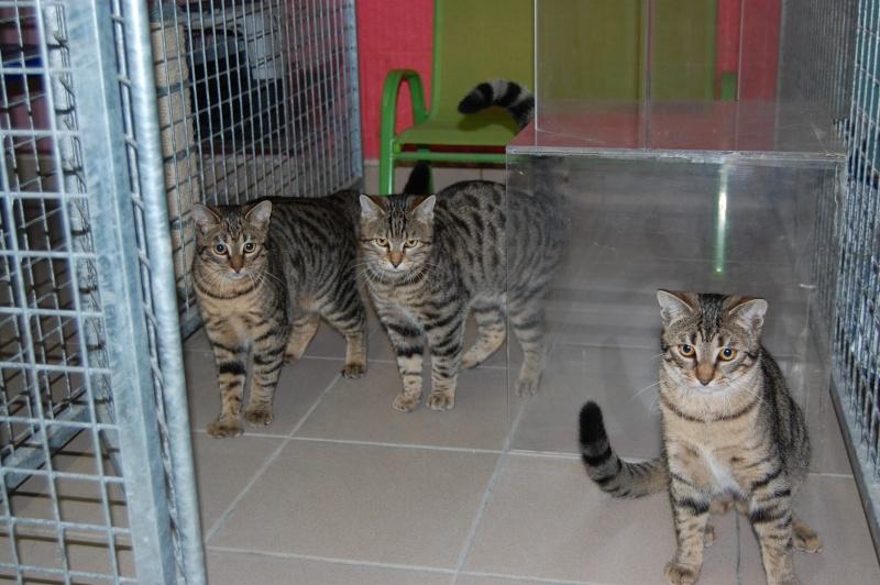 HERMIONE et CASSIOPEE, chatonnes tigrées, nées mi-mai (60) Dsc_0376