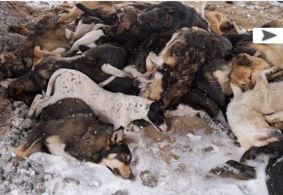 В Туле найдено около 150 трупов собак.. X_9e9510