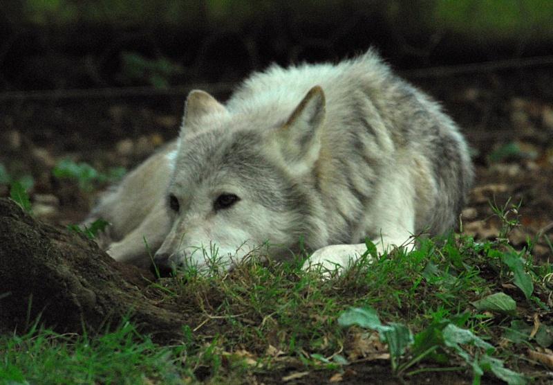 Bild des Wolfs