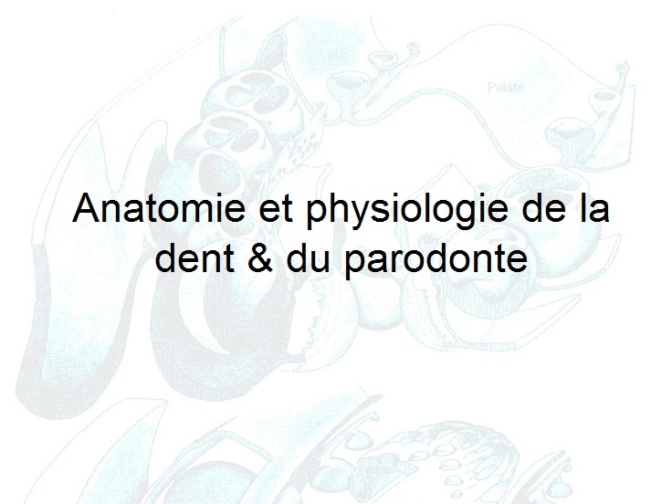 anatomie - Anatomie et physiologie de la dent & du parodonte Anat10
