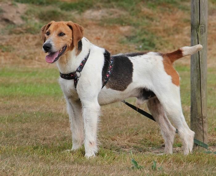 ACTIF, croisé beagle mâle, 11 ans (72) Actif10