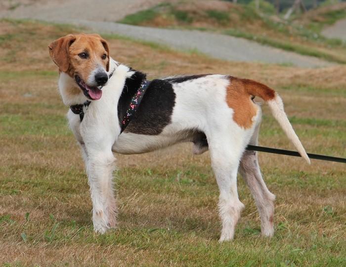 ACTIF, croisé beagle mâle, 11 ans (72) Actif_10