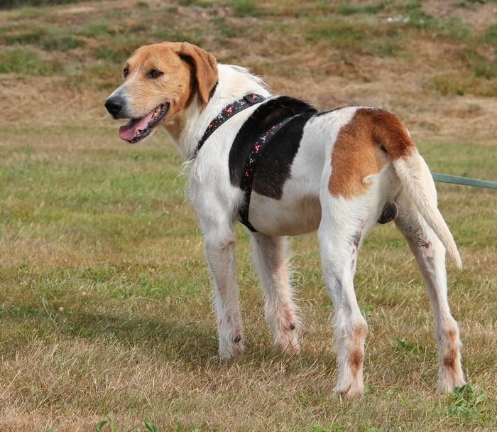 ACTIF, croisé beagle mâle, 11 ans (72) Actif_12