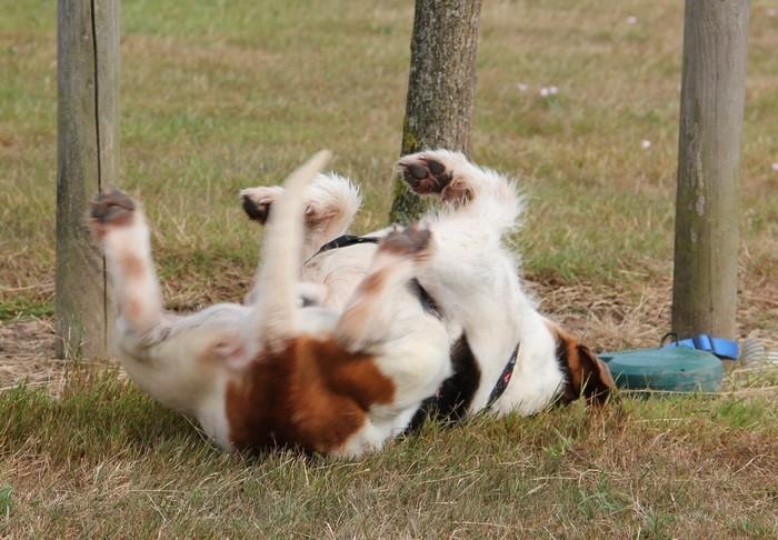 ACTIF, croisé beagle mâle, 11 ans (72) Actif_15