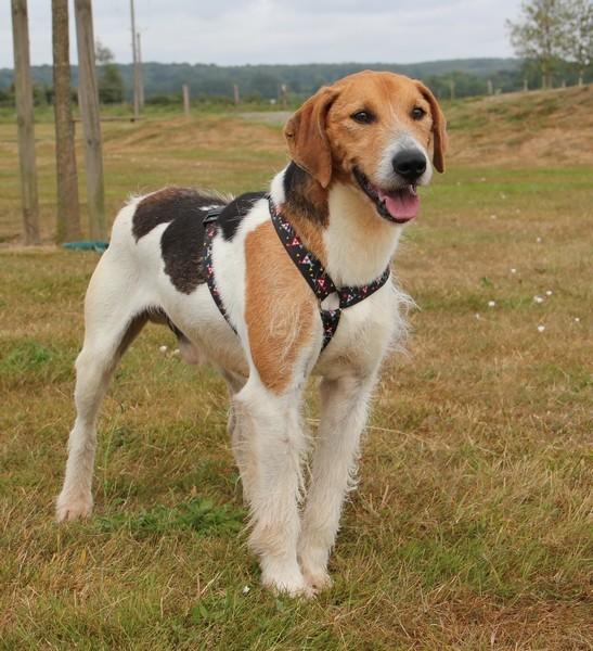 ACTIF, croisé beagle mâle, 11 ans (72) Actif_17