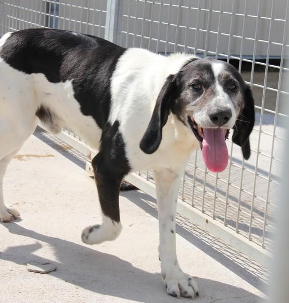 YOUPY, croisé beagle/épagneul mâle, 4 ans (72) Img_1710