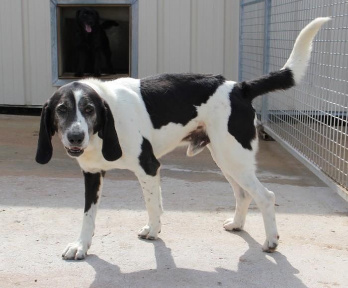 YOUPY, croisé beagle/épagneul mâle, 4 ans (72) Img_2829