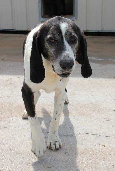 YOUPY, croisé beagle/épagneul mâle, 4 ans (72) Img_2830