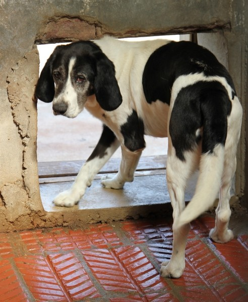 YOUPY, croisé beagle/épagneul mâle, 4 ans (72) Img_2831