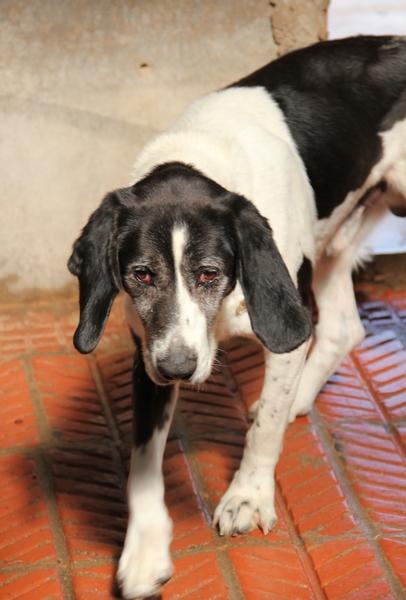 YOUPY, croisé beagle/épagneul mâle, 4 ans (72) Img_2832