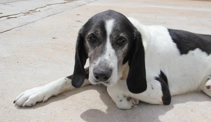 YOUPY, croisé beagle/épagneul mâle, 4 ans (72) Img_8011