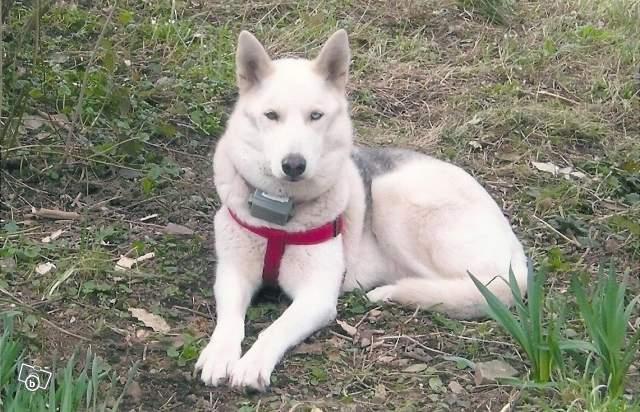 GROSSE URGENCE MIEM chienne X HUSKY 16 ans PAR:81    DECEDEE 57705010