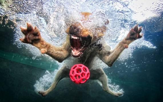 Nos chiens sont des sacrés plongeurs a voir ! Image011