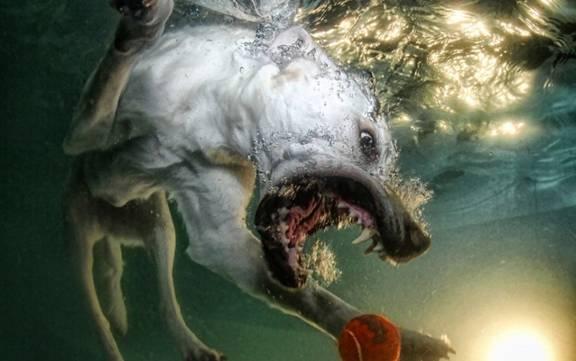 Nos chiens sont des sacrés plongeurs a voir ! Image018