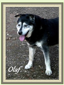 OLAF x husky (m) né début 2002 REF:26 DECEDE Sans_t28