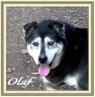 OLAF x husky (m) né début 2002 REF:26 DECEDE Sans_t29