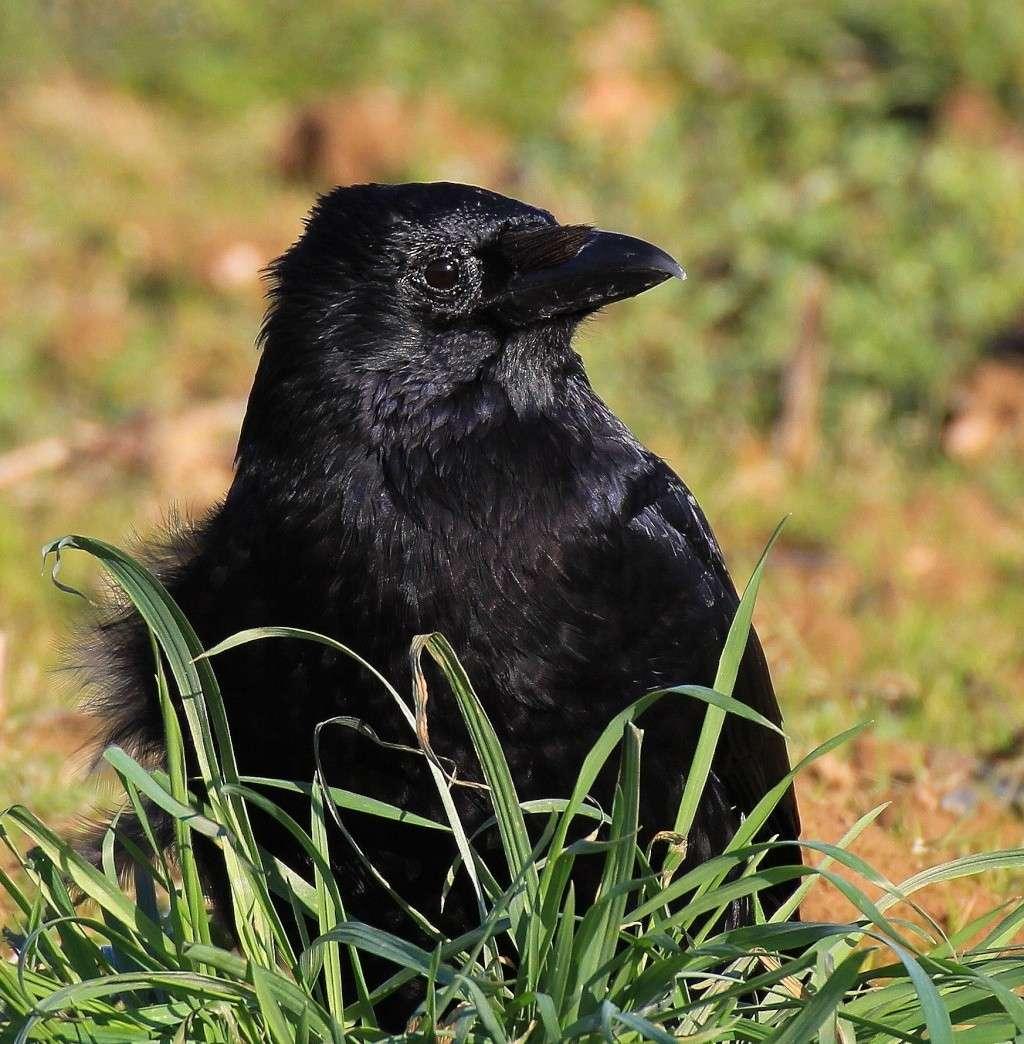 Le corbeau Corbea10