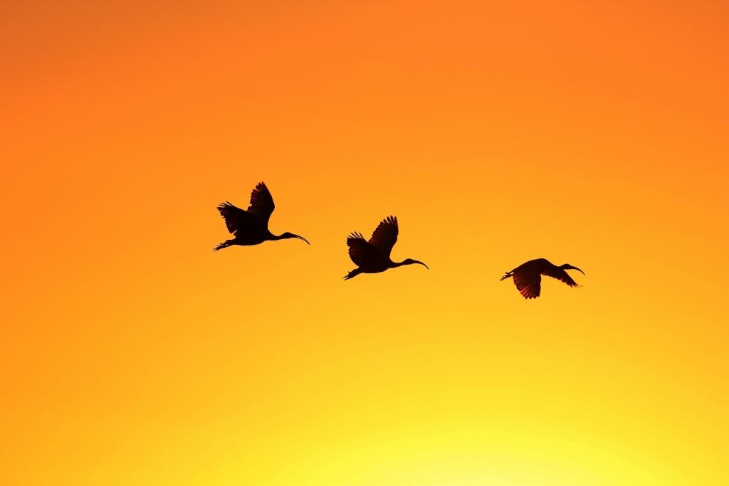 ibis sacrés comme à la maison +ajout  Ibis4_11