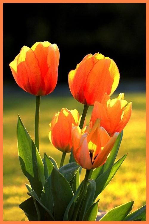 Tulipes du jardin ...+ajouts du 09.04.12 Tulipe11