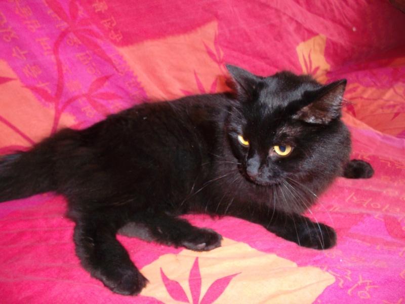 EPICE magnifique chatte noire angora née le 01/06/2009 adoptée - Page 7 Sam_0013