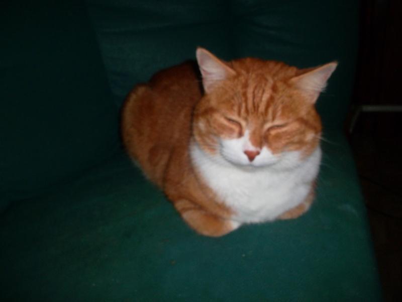 Caramel, mâle type européen blanc et roux né le 15/07/06 Sam_1412