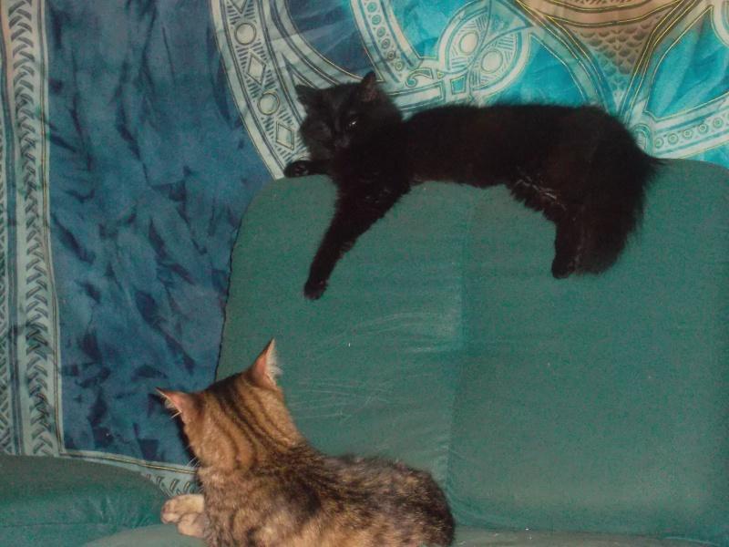 EPICE magnifique chatte noire angora née le 01/06/2009 adoptée - Page 6 Sam_1827