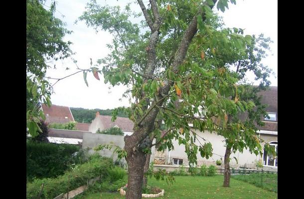 cerisier malade suite a l orage  Mes_p355