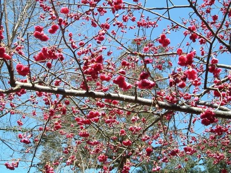 Flowering cherry bonsai at Kokufu 2-20-110