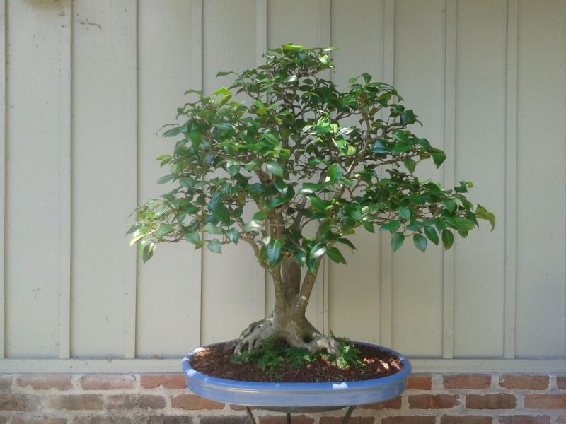 Camellia japonica 'La Peppermint' Camell12
