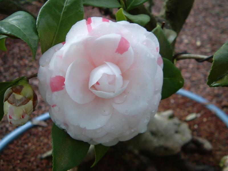 Camellia japonica 'La Peppermint' Camell15