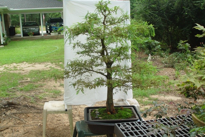 Growing Bald Cypress in water? - Page 2 Cypres10