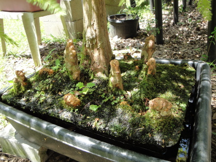 Growing Bald Cypress in water? - Page 2 Cypres11