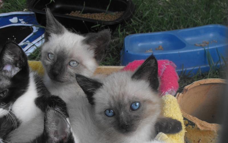 1 chatons X siamois à adopter fin juin Dscf4910