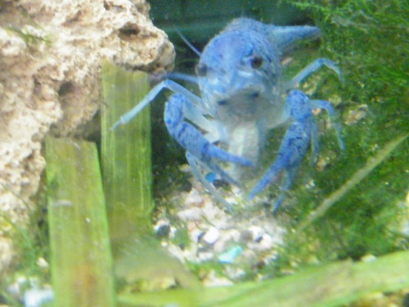 alleni - Procambarus alleni, l'Ecrevisse bleue de Floride Aout1121