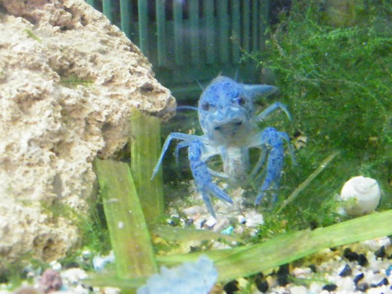 alleni - Procambarus alleni, l'Ecrevisse bleue de Floride Aout1122