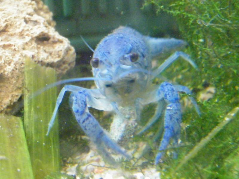 alleni - Procambarus alleni, l'Ecrevisse bleue de Floride Aout1123