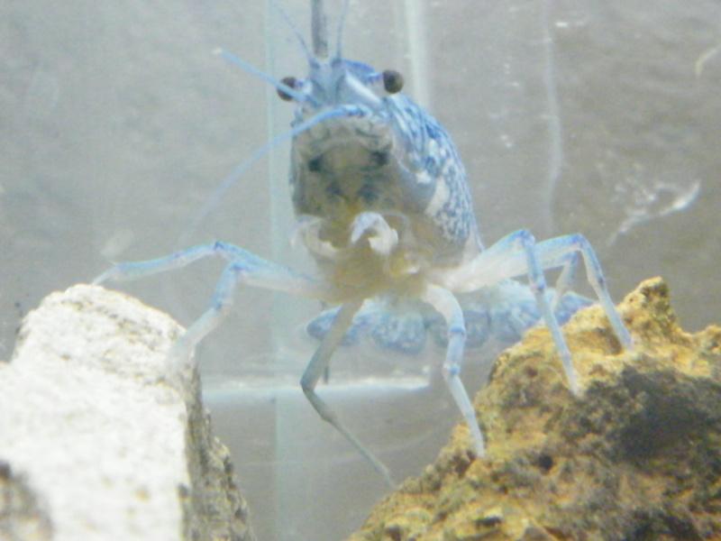 alleni - Procambarus alleni, l'Ecrevisse bleue de Floride Aout1124